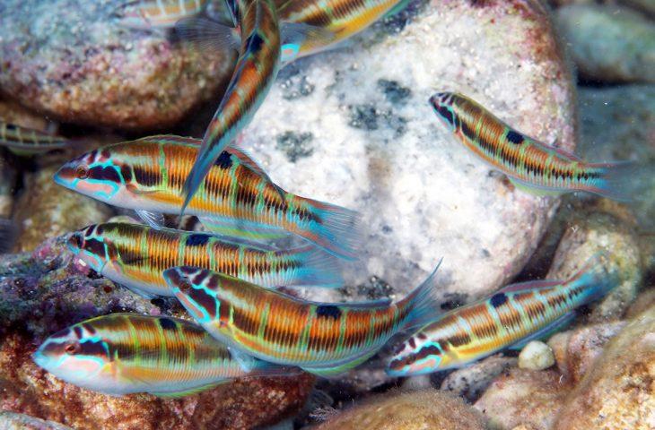 Rainbow wrasses at the Isola Bella Marine Park in Taormina